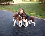 English Springer Spaniels ohio