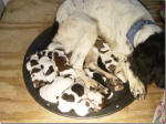 Pups at one day old whelped 11-25-2012